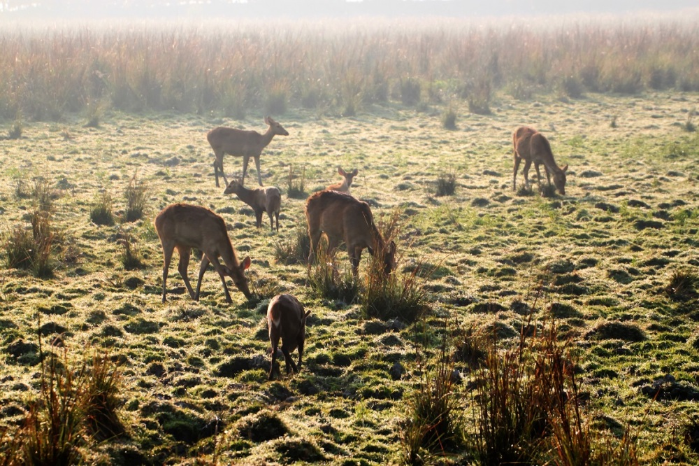 Grazing Deer, Kaziranga National Park