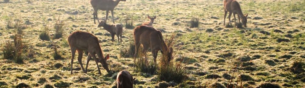Grazing Deer, Kaziranga National Park